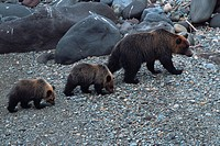 Family of Brown Bears