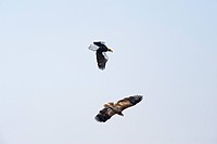 White_tailed Eagle and Steller´s Sea Eagle