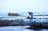 Seaweed gathering and Brent Goose