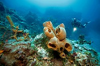 Scuba diver in a Caribbean coral reef, big sponges, Cozumel, Mexico, Caribbean