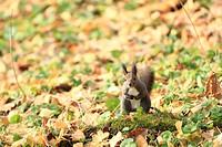 Hokkaido Squirrel in autumn Scriurus vulgaris orientis