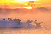 Tokachi River in the morning and swans