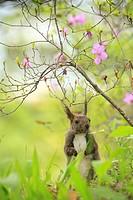 Hokkaido Squirrel Scriurus vulgaris orientis, spring