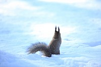 Hokkaido Squirrel Winter