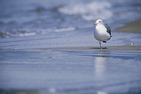 Black_tailed Gull