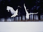Red_crowned cranes´ dance