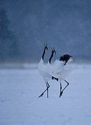 Couple of Japanese Crane
