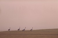 Japanese cranes in morning mist