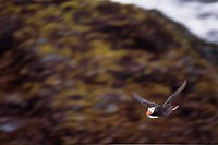 Tufted puffin carrying fish in its mouth