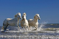 Camargue horses (Equus caballus), running though water at the beach, Camargue, Southern France, France, Europe