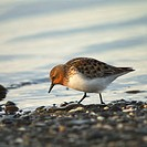 Red_necked Stint Scolopacidae