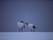 Young red_crowned cranes