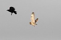 Short_eared owl and Crow
