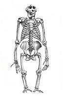 Skeleton of a gorilla, anatomical illustration