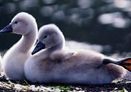 Mute swan, chicks