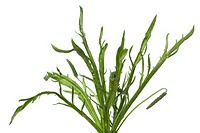 Plantago coronopus leaves on whitebackground