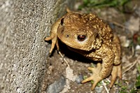 Portrait of a fat and viscous common toad seated in the grass