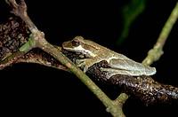 Tree frog (Osteocephalus taurinus), Tiputini rain forest, Yasuni National Park, Ecuador, South America