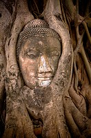 buddha´s head in banyan tree roots