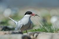 Arctic tern (Sterna paradisea), North Sea, Europe