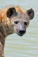 Spotted hyena (Crocuta crocuta), adult in the water, Maasai Mara National Reserve, Kenya, Africa