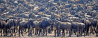 Great Migration, Blue Wildebeest (Connochaetes taurinus), gnus jostling on the shore of Mara River, Masai Mara, Kenya, Africa