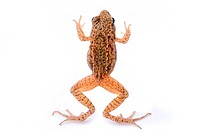 Rana temporaria. Small Grass frog on white background.