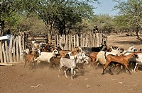 Herd of goats and sheep from a small farming family, Puesto La Guascha, Gran Chaco, Salta, Argentina, South America