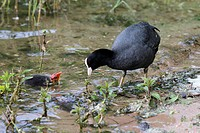 Coot chick with parent