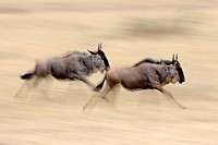 Blue wildebeests Connochaetes taurinus running in the savannah, blurred, wildebeest migration, Maasai Mara National Reserve, Kenya, East Africa, Afric...