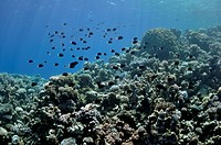 Coral reef and fishes at the Red Sea near Dahab to