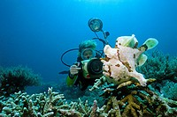 Scuba diver photographing a Giant Frogfish or Commerson's Frogfish (Antennarius commersoni), Mindoro, Philippines, Asia, Pacific Ocean