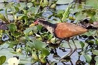 Juvenile Wattled Jacana, Jacana jacana, Ibera Wetlands, Corrientes province, Argentina, South America