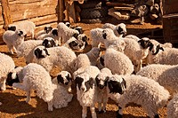 Lambs, fat tailed sheep, in enclosure for night, protection against wolves and snow leopards, winter in Gobi desert, Mongolia