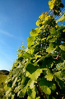 Vineyard in Southwest Germany Rhineland Palatinate in Summer