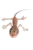 gecko babe isolated