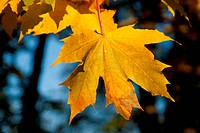 yellow maple leaves with blurred background
