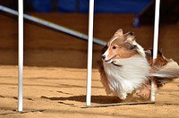 Shetland Sheepdog Sheltie Weaving Through Weave Poles at a Dog Agility Trial