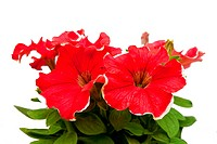 hothouse plant a petunia for landscape design