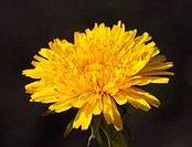 Closeup of a yellow dandelion flower over dark background