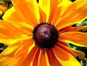 A Rudbeckia flower in the summertime sunshine.