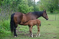 Young horse nursing from mother