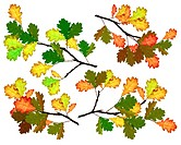 isolated oak branches for fall decoration