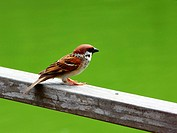 A lone Eurasian Tree Sparrow  Passer montanus  perched on a railing, looking out into the open