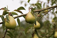 Delicious sweet pears hanging on pear tree