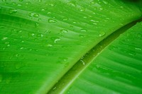 A green banana leaf background with lines