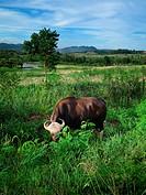 Bull wildlife reserve in Thailand