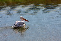 A Pelican floating over the rippled waters