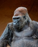 Gorilla in captivity at a zoo