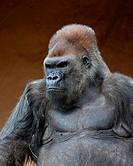 Gorilla in captivity at a zoo